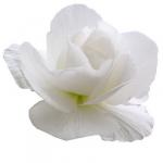Begonia blanc